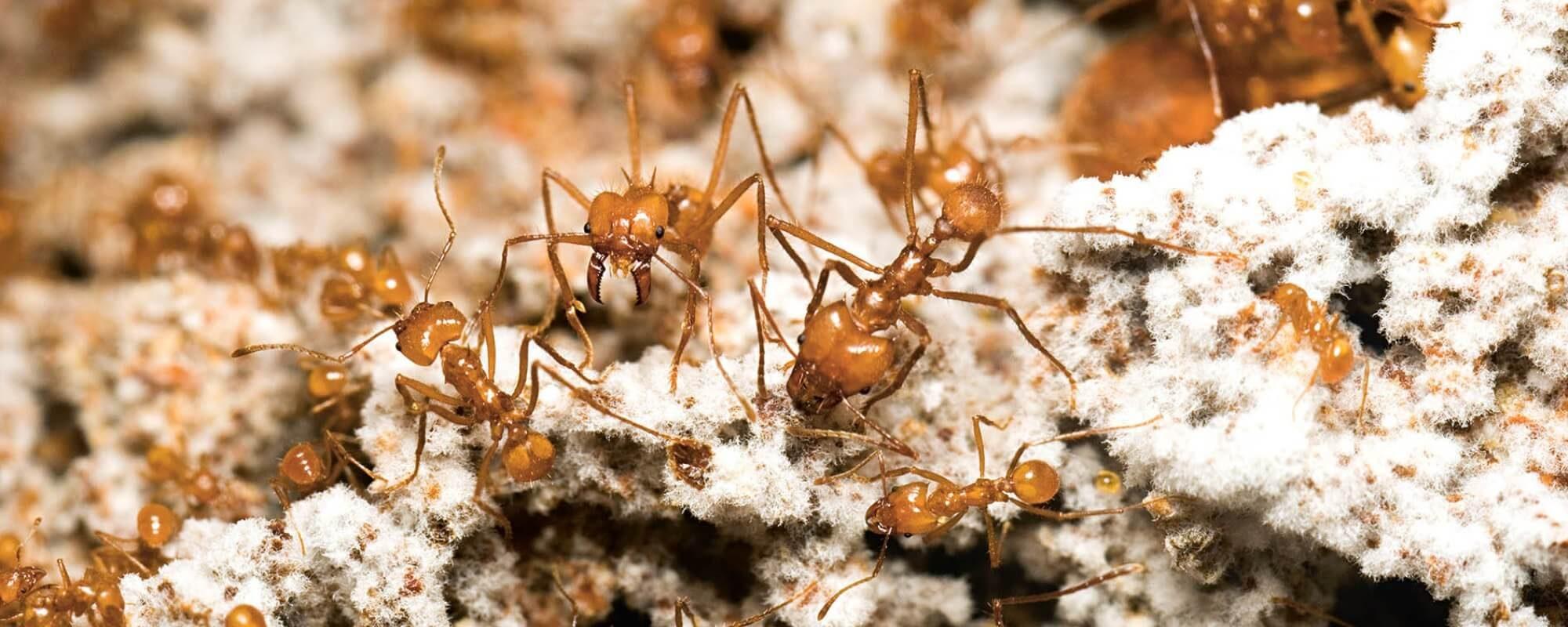 ant-fungus-farmers